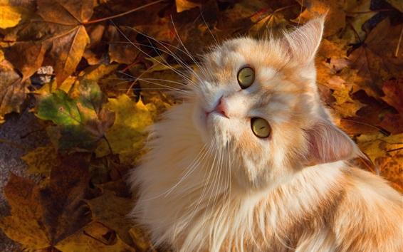 Wallpaper Yellow eyes cat look up, autumn