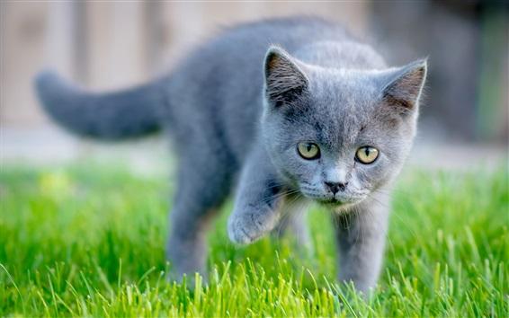 Papéis de Parede Amarelo olhos cinza gatinho, grama verde