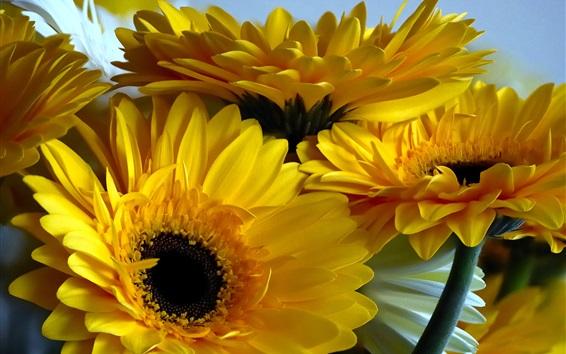 Wallpaper Yellow gerbera flowers, petals close-up