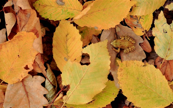 Wallpaper Yellow leaves, autumn, frog