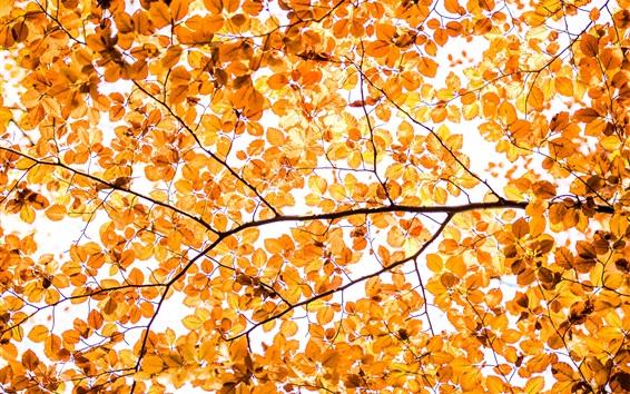 Обои Желтые листья, осень, ветки, на белом фоне
