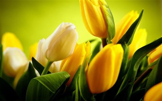 Wallpaper Yellow tulips flowers, green background