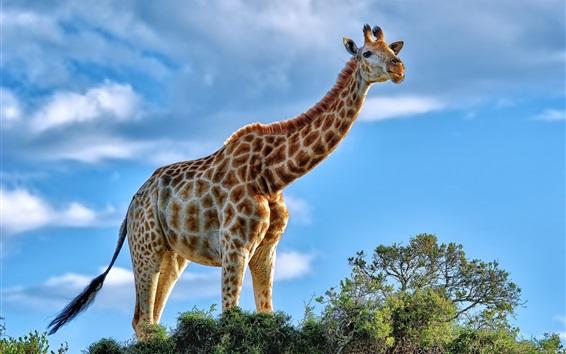 Papéis de Parede Animais africanos, girafa, arbusto