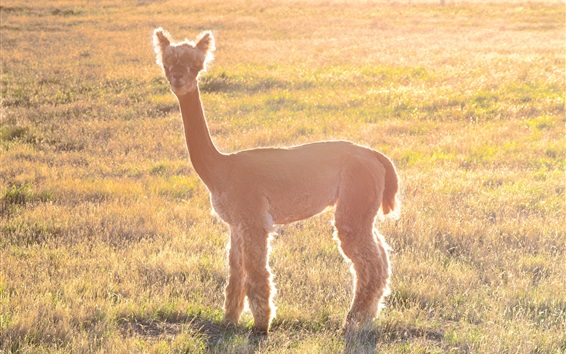 Wallpaper Alpaca under sunshine