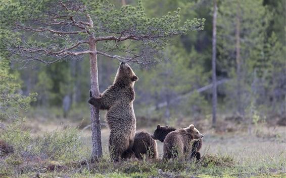 Papéis de Parede Urso quer escalar árvore, filhotes, grama