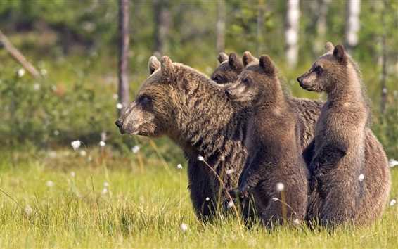 Wallpaper Bears family in the grass, mother and cubs