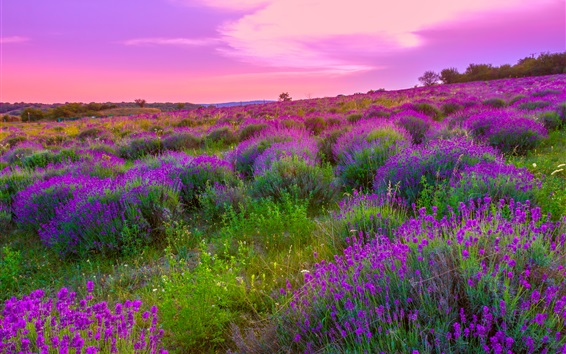Wallpaper Beautiful lavender flowers field, bloom, dusk