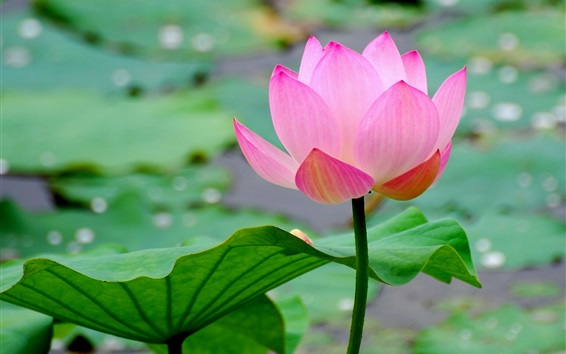 Wallpaper Beautiful lotus, pink petals, pond, leaves