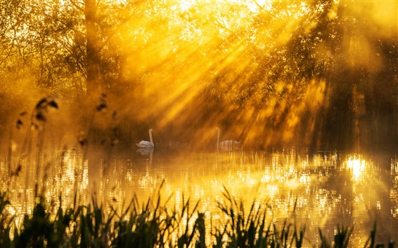 Wallpaper Beautiful morning sun rays, lake, swans, trees