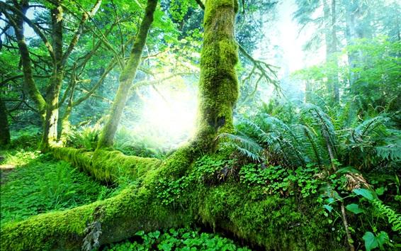 Обои Красивый природный лес, деревья, кустарники, мох, трава, зеленый