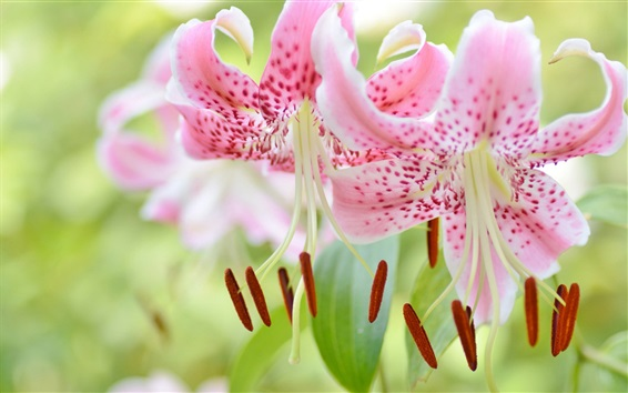Wallpaper Beautiful pink lily flowers close-up, pistil
