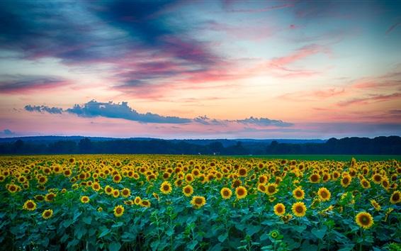 Fond d'écran Beau, tournesols, champ, soir, coucher soleil, Été