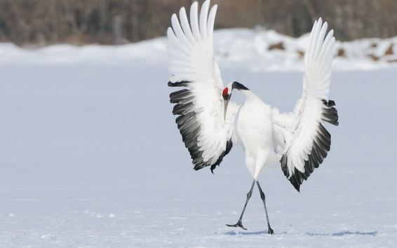 Wallpaper Bird, crane dance, wings, winter, snow