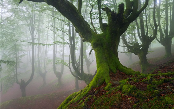 Wallpaper Biscay, Spain, trees, moss, fog, spring