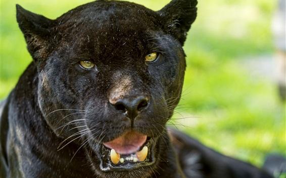 Wallpaper Black jaguar, face, yellow eyes