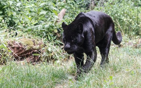 Wallpaper Black jaguar walking, grass, predator