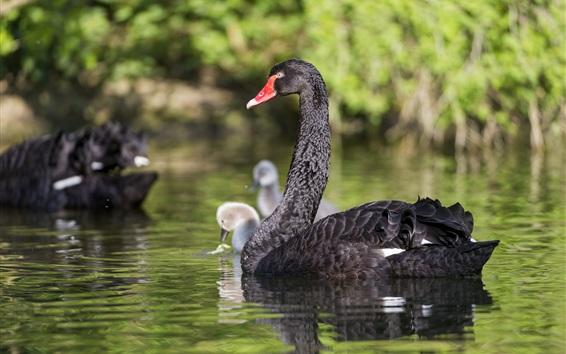 Wallpaper Black swan in pond