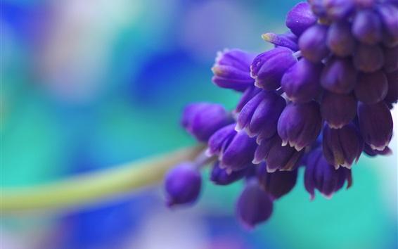 壁紙 青ブドウヒヤシンスの花マクロ写真