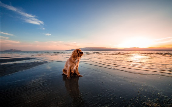 Wallpaper Brown dog sitting at sunset seashore