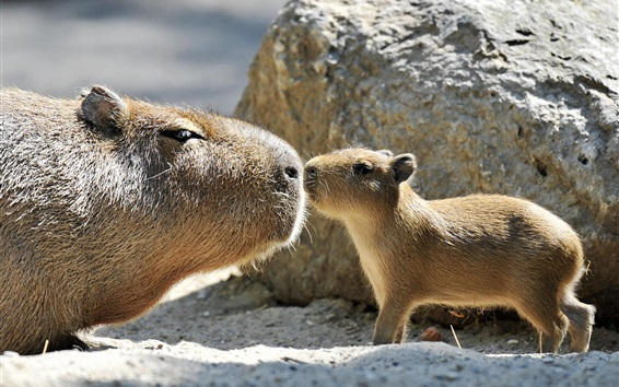 Wallpaper Capybara family, love kiss