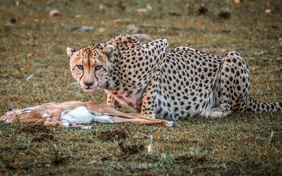 배경 화면 치타 사냥, 사슴 죽은