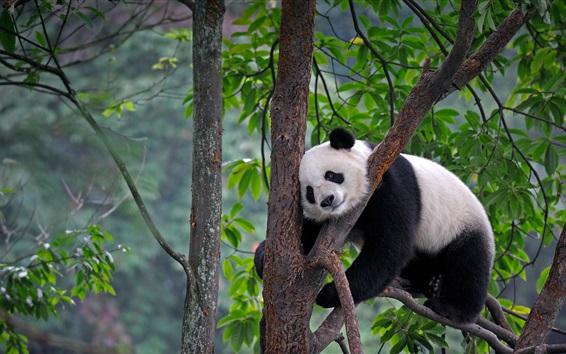 壁紙 中国、四川、パンダ、木、葉