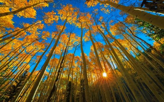 Wallpaper Colorado, autumn, aspen, forest, trees, sun rays, USA