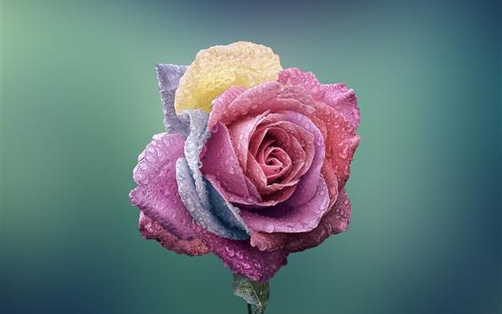 배경 화면 화려한 꽃잎 장미, 물방울