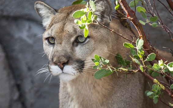 Wallpaper Cougar, mountain lion, wild cat, face, twigs