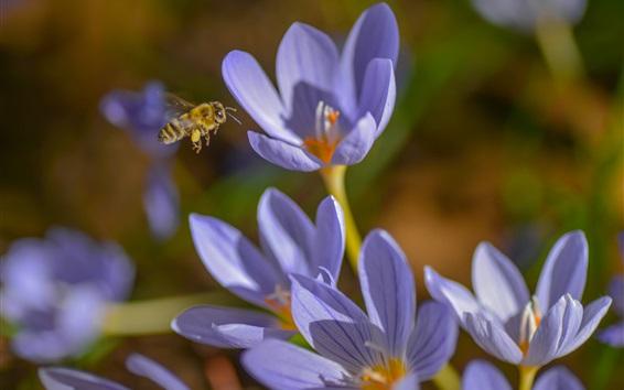 Wallpaper Crocuses, blue flowers, bee, spring