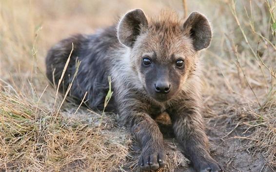 Wallpaper Cute hyena cub