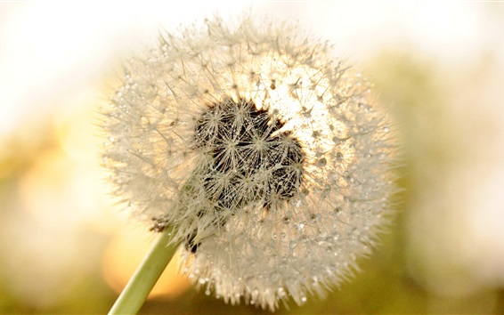 Wallpaper Dandelion flower close-up, dew, glare