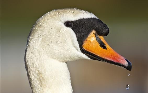 Wallpaper Duck head close-up, beak, eyes, water drops