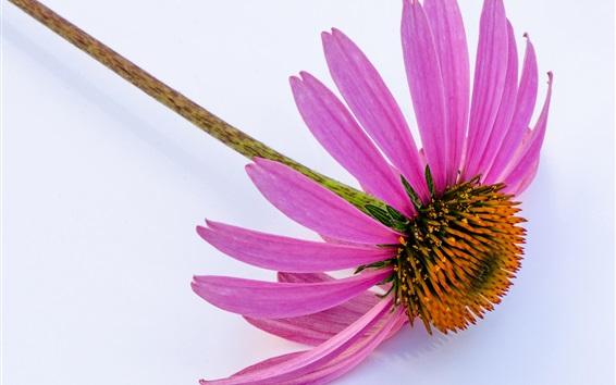 배경 화면 에키 네시아, 분홍색 꽃잎