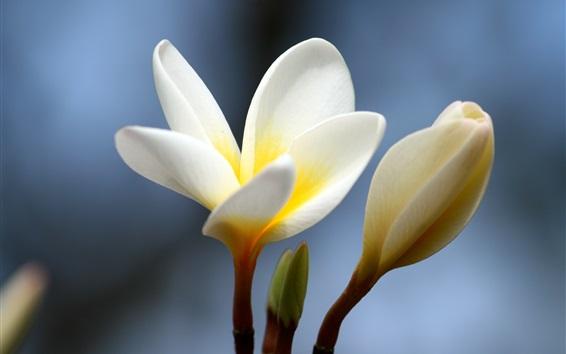 배경 화면 꽃 근접, plumeria, 흰색 노란색 꽃잎