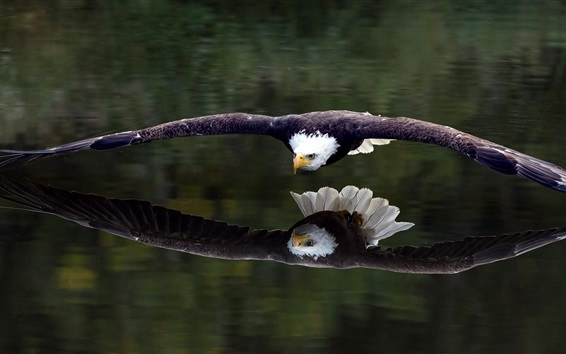 Wallpaper Flying eagle close to the lake water surface