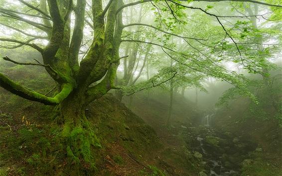 Fond d'écran Forêt, matin, arbres, vert, feuilles, ruisseau, brouillard, mousse