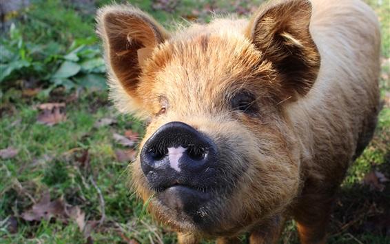 Papéis de Parede Animais peludos, porco, nariz