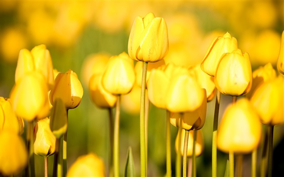 Обои Садовые цветы, желтые тюльпаны