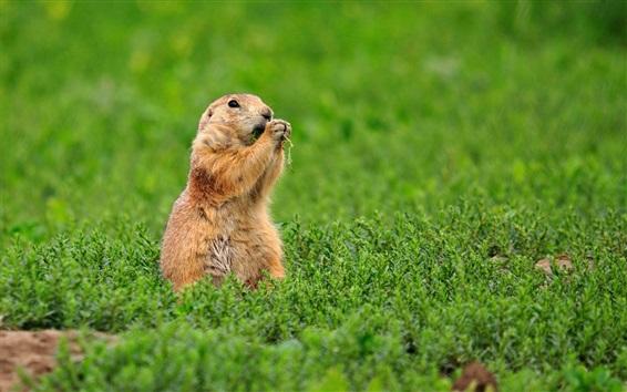 Wallpaper Gopher, squirrel, standing in grass