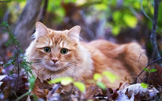 Papéis de Parede Olhos verdes, laranja, gato, ficar, folhas
