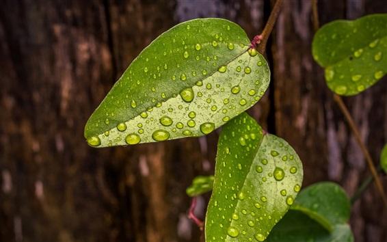 Fond d'écran Vert, feuilles, eau, gouttelettes, nature