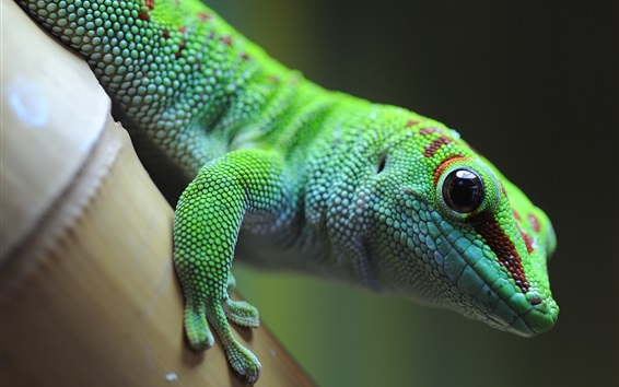 Wallpaper Green lizard, gecko, animal photography