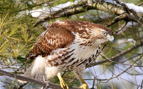 Обои Ястреб, канюк, лес, птица крупным планом