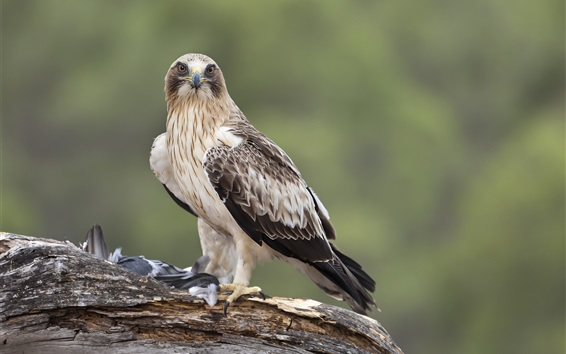 Wallpaper Hawk standing to eat food