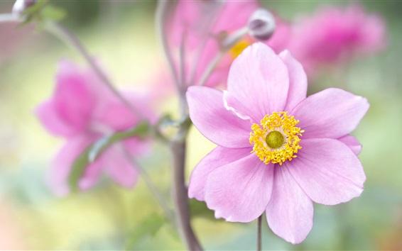 Papéis de Parede Anêmona japonesa, pétalas de rosa, fotografia de flores