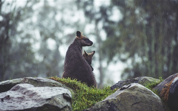 Hintergrundbilder Känguruh im Regen