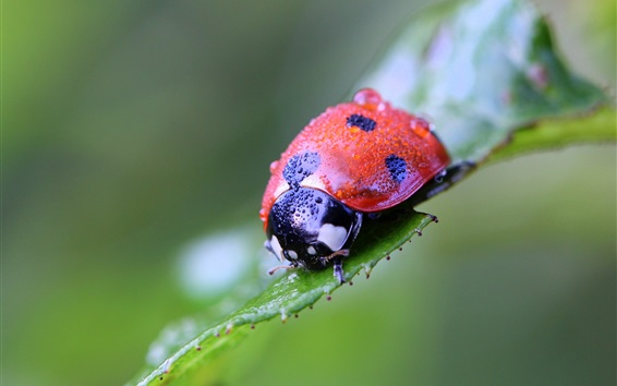 Wallpaper Ladybug macro photography, insect, green background