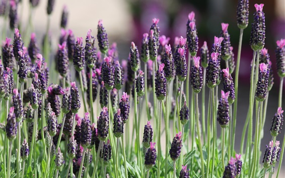 Wallpaper Lavender field, plant macro photography
