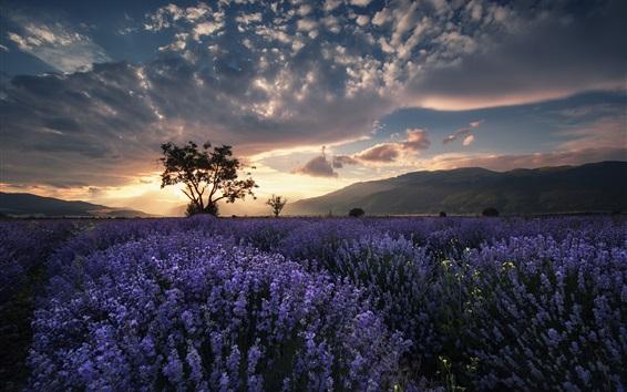 Fond d'écran Champ de lavande, arbres, été, crépuscule, nuages, coucher de soleil
